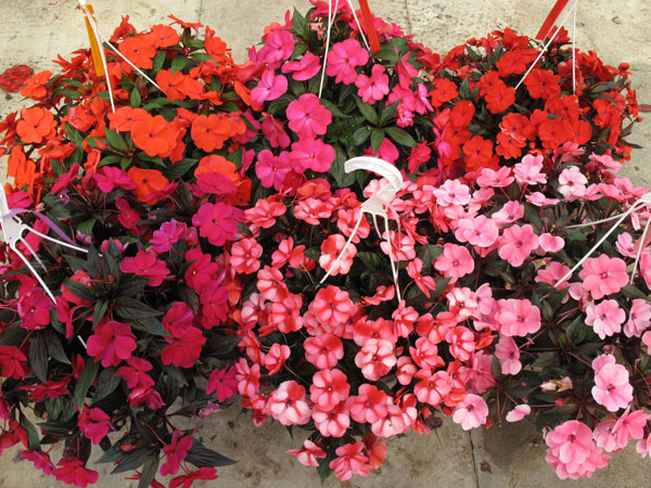 New Guinea Impatiens Hanging Baskets