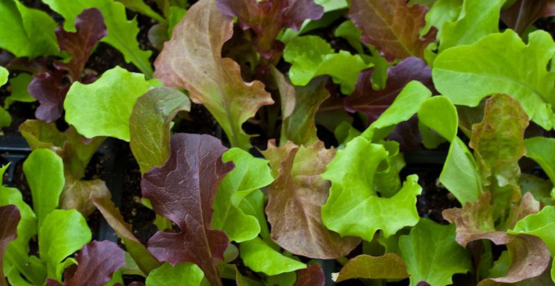 Hardy Gourmet Leaf Lettuce