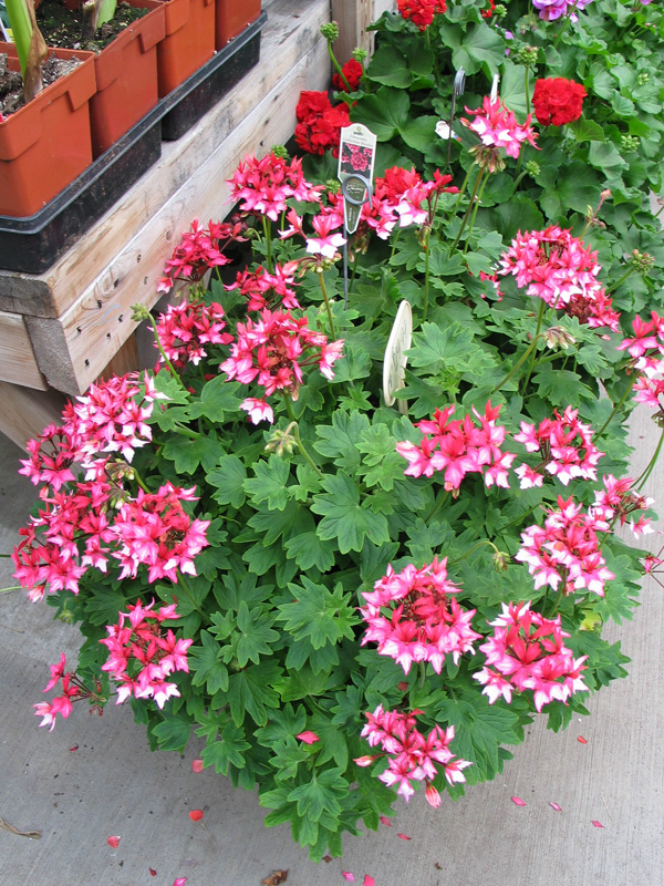 Potted Exotic Geranium