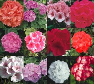 seed geraniums