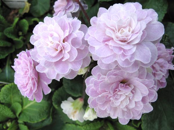 Belarina Pink Ice Primula