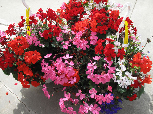 Caliente Mix Ivy Geranium Hanging Basket