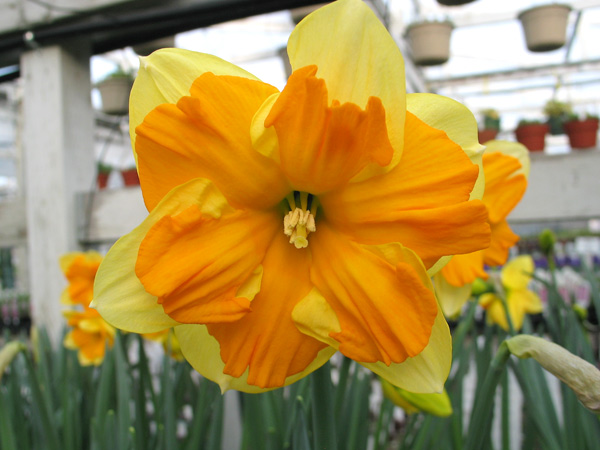 Centanees Daffodil (New Variety!)