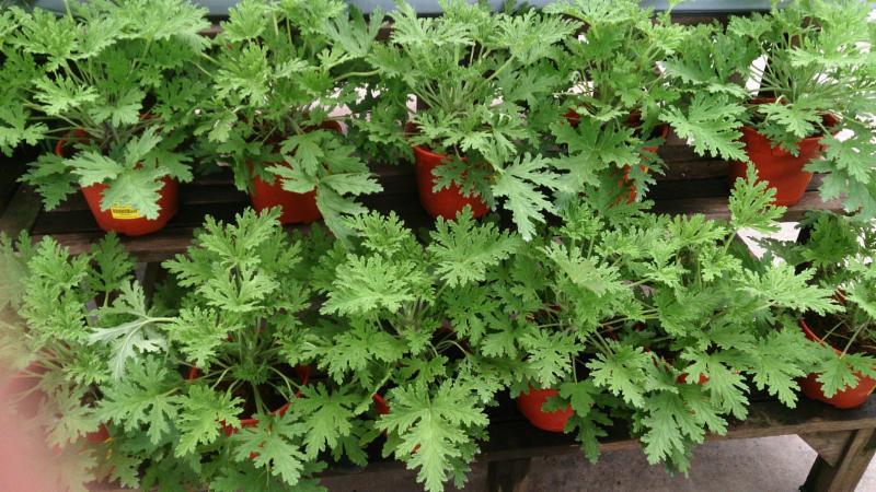 Mosquito Plant Citrosum - Mokkie (Wikipedia)