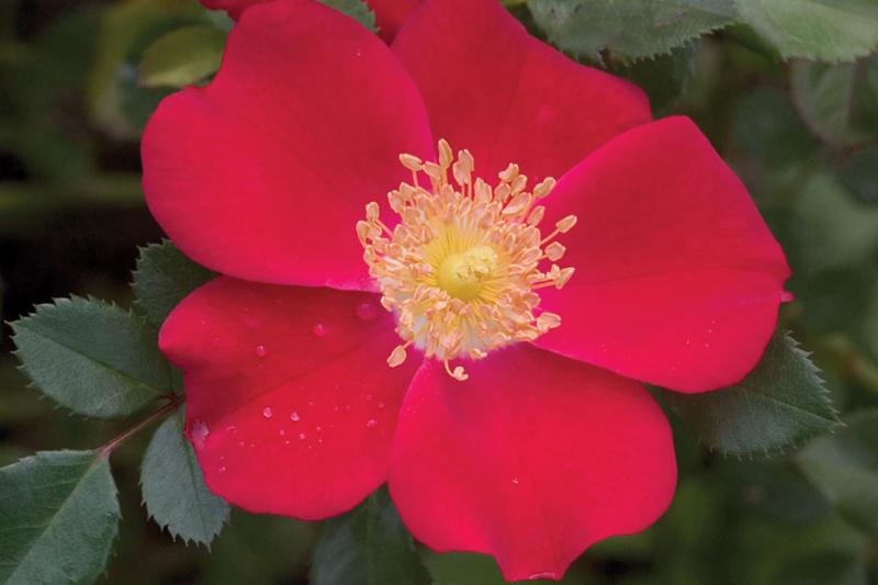 Oso Easy Rose 'Cherry Pie'