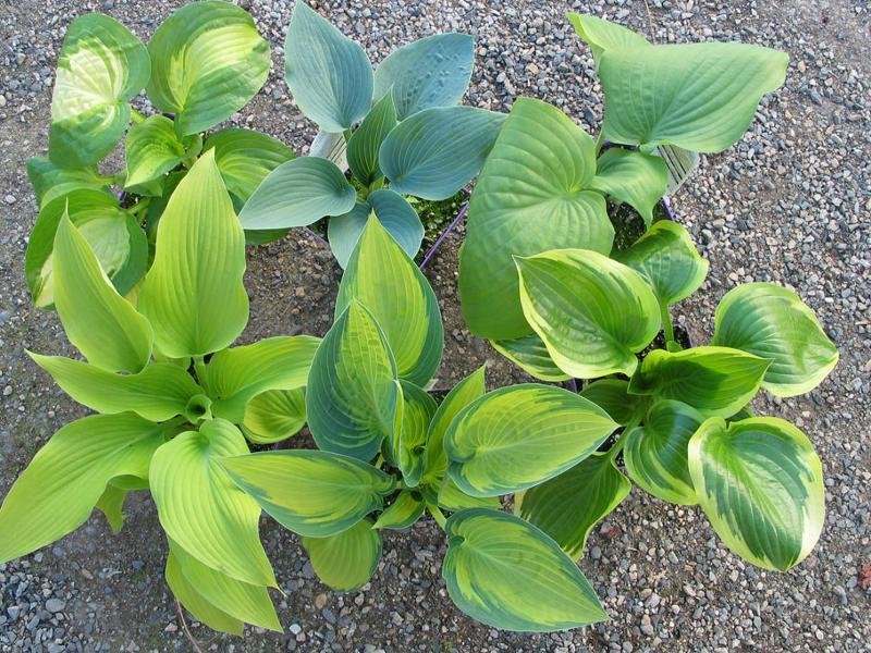 Assorted Hostas