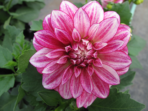 Cherish Pink Dahlia