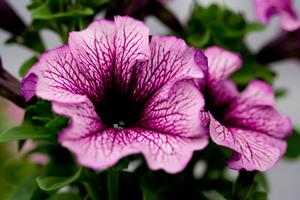Grandiflora Daddy Sugar Petunia