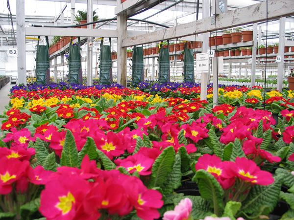Hundreds of Primulas!