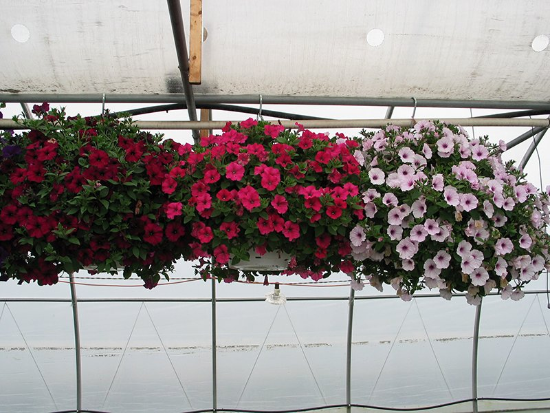 Supertrailing Petunia Baskets_web