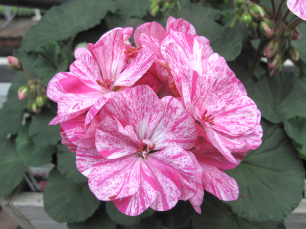 Fantasia Raspberry Twizzle Geranium