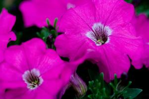 Seed Petunia