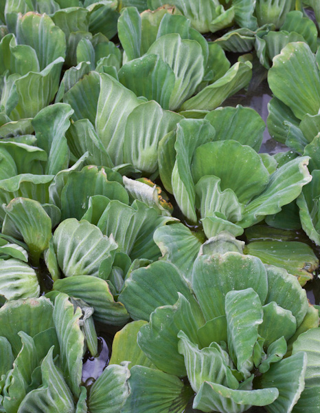 Assorted Water Lettuce