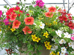 "10"" Hanging Baskets for Sun"