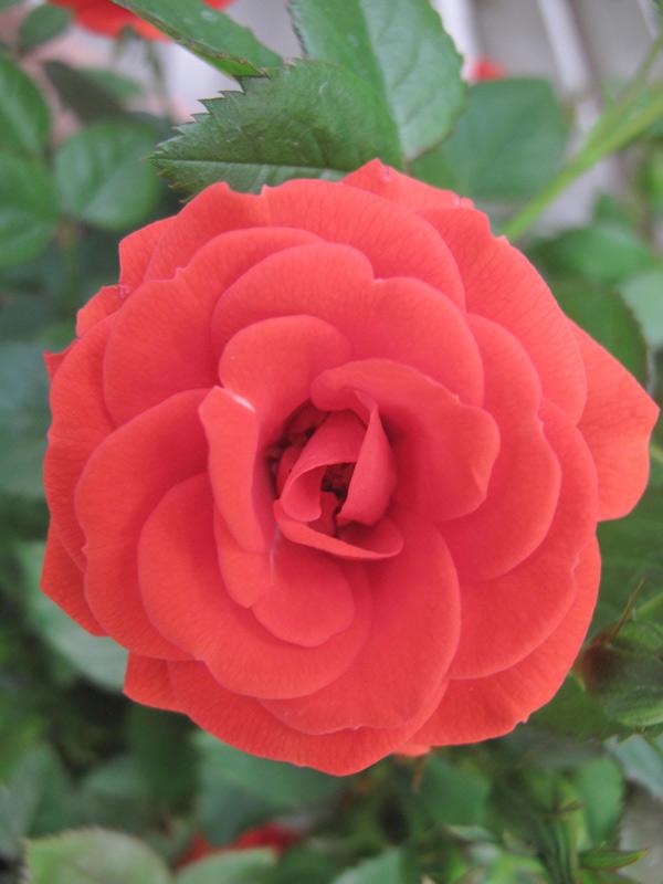 Miniature Roses - Carrot Top