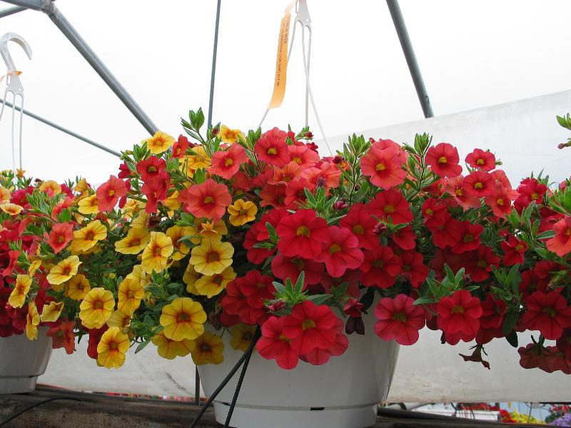 10in Mixed Calibrachoa Hanging Basket