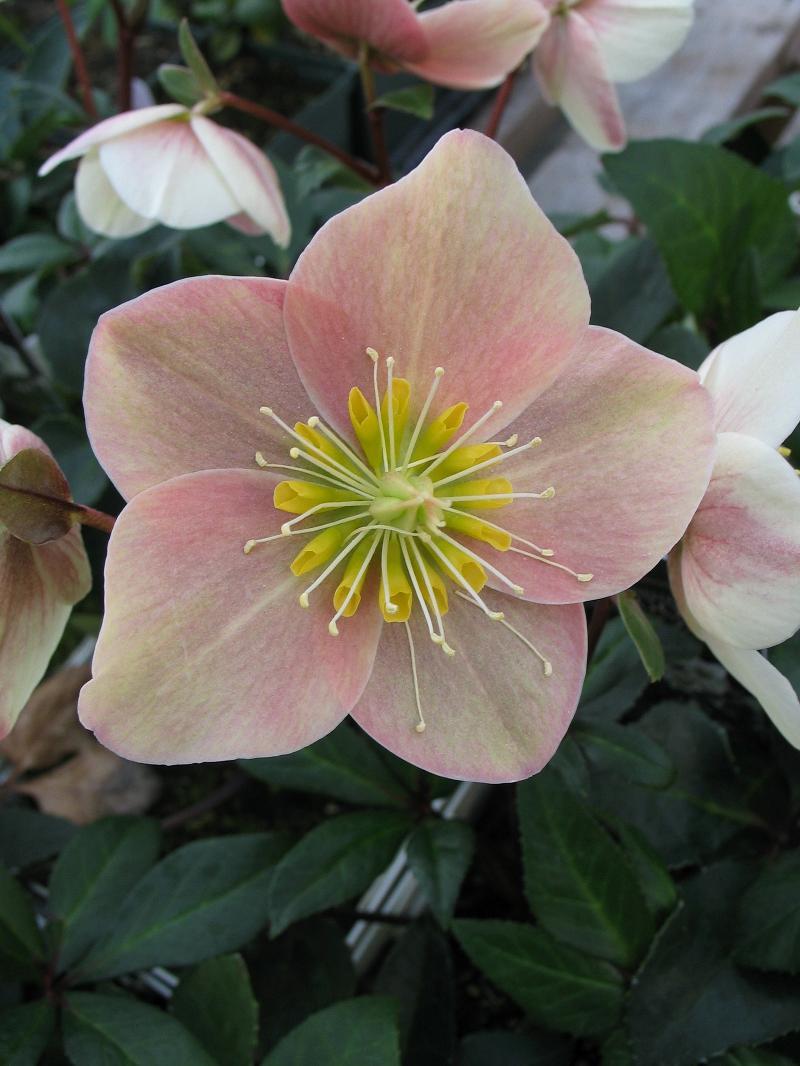 pink frost helleborus