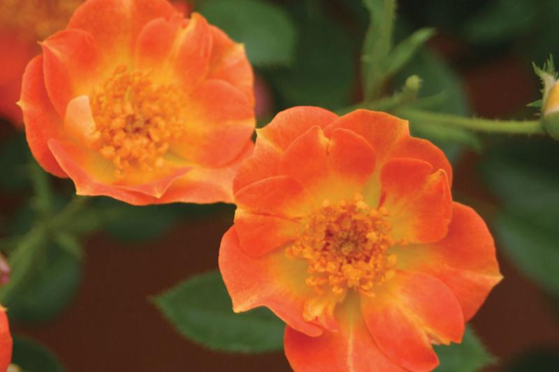 Oso Easy Rose 'Paprika'