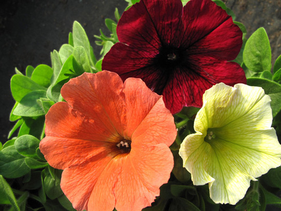 Potunia Deep Purple, Potunia Plus Papaya, and Potunia Plus Yellow Vegetative Petunias
