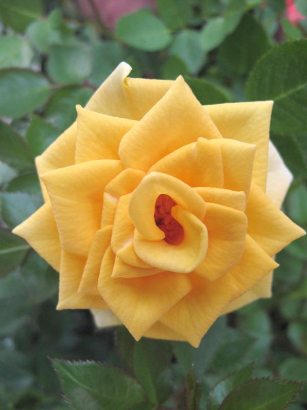 Miniature Roses - Sun Sprinkles