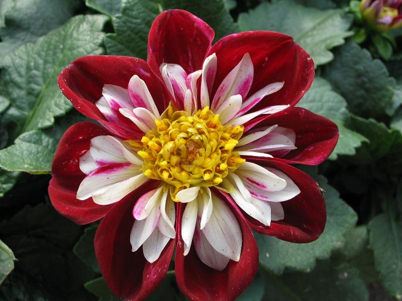Dahlia Goldalia Rose