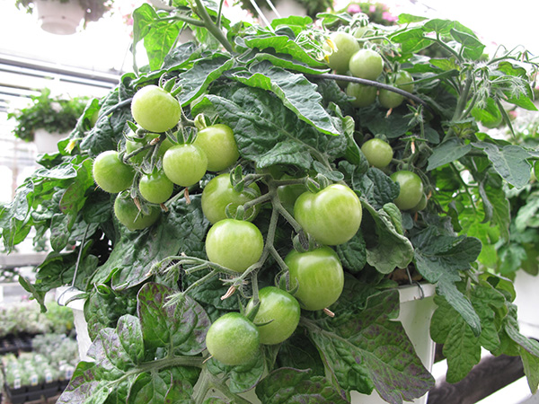 Red Robin Tomato Hanging Basket