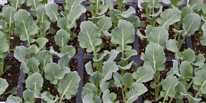 Hardy Early Dividend Broccoli