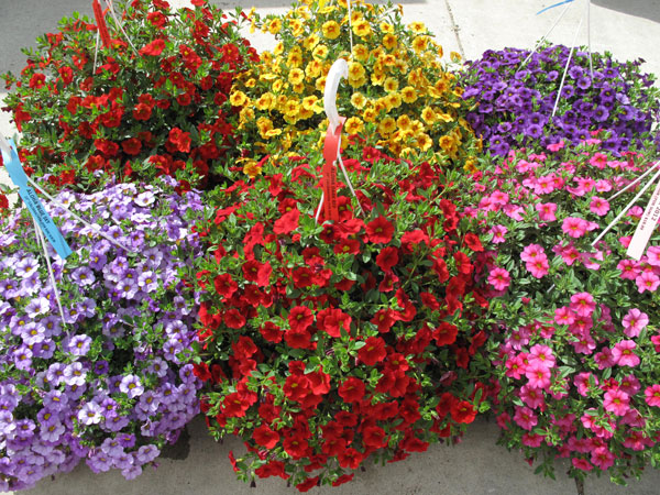 Assorted Calibrachoa Hanging Baskets