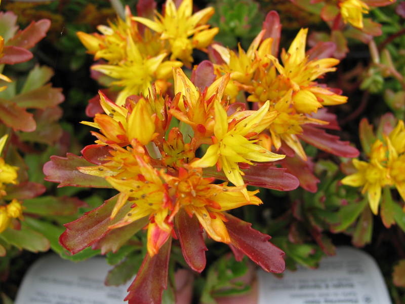 Sedum Weihenstephaner Gold_web