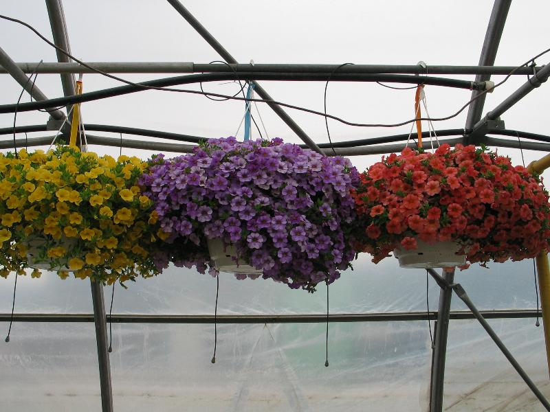 Calibrachoa Baskets 2
