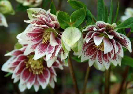 Winter Jewel Hellebore Painted Doubles