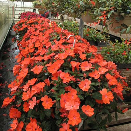 12 inch Hanging Baskets of Sunpatiens
