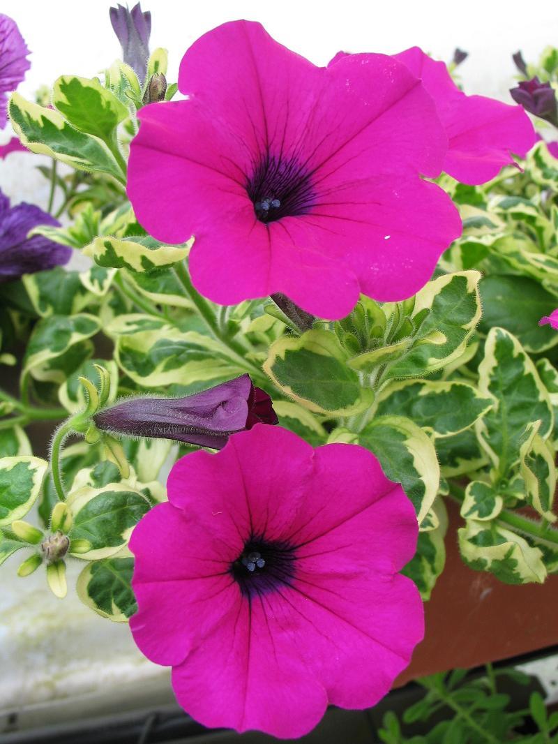 Petunia - Variegated Purple Wave
