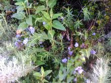 woodmint foliage and ecological partners