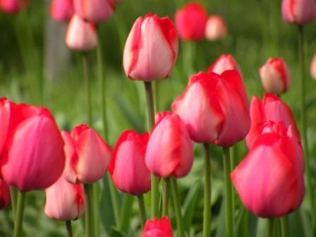 Tulips - Fifth Street Garden
