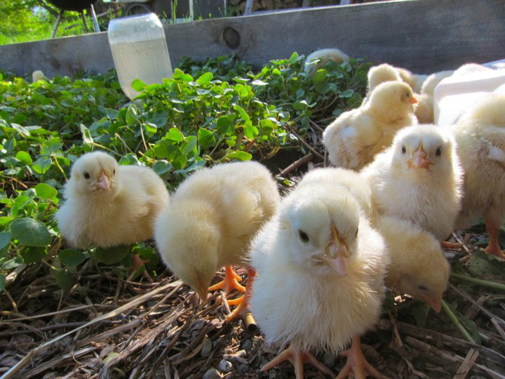 Chick Chicken livestock