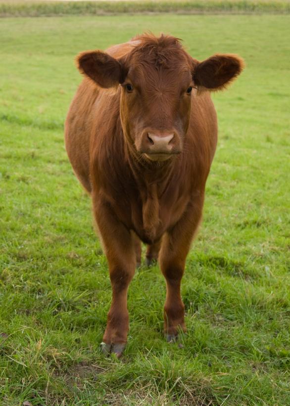 Cow Beef Livestock Grazing