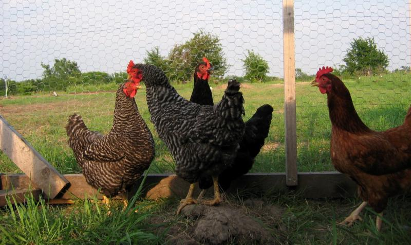 chicken poultry livestock