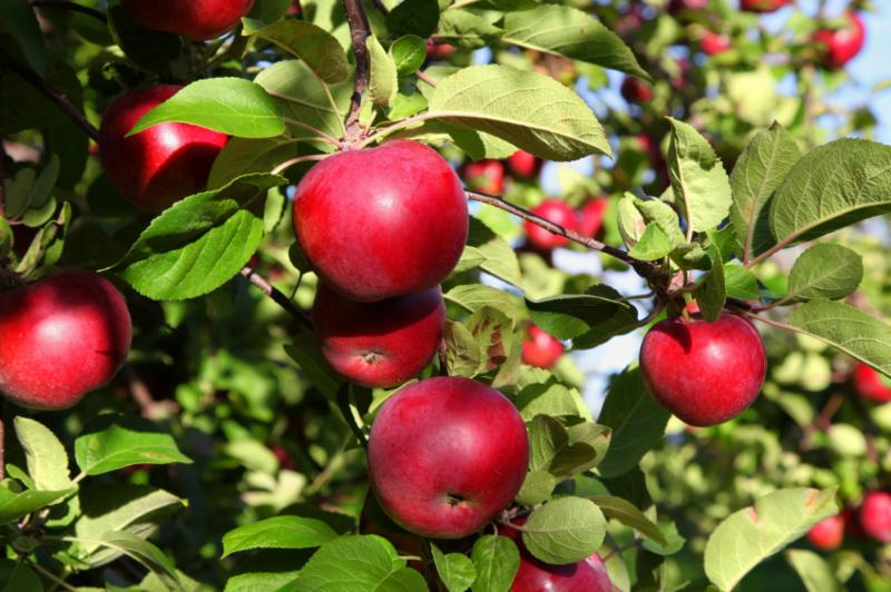 Apple Macintosh Fruit