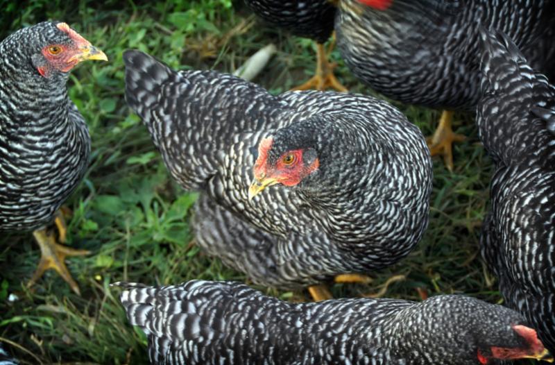 chicken livestock