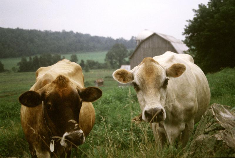 cow grazing livestock