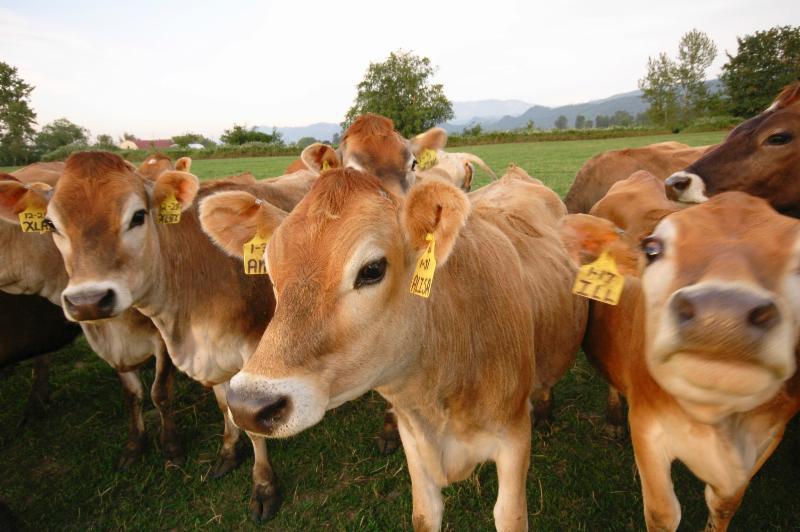 Cow Dairy cows livestock