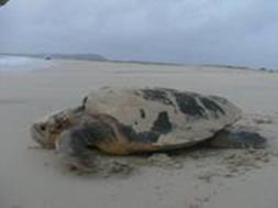 Sea Turtle on Hilton Head Island