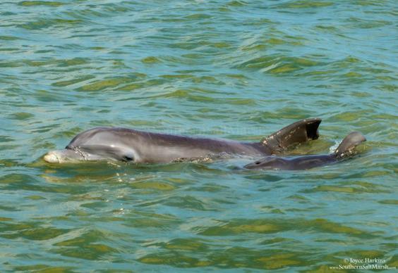 Dolphin's By Joyce Harkins