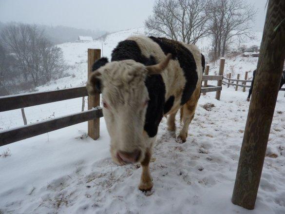 Bhima in snow