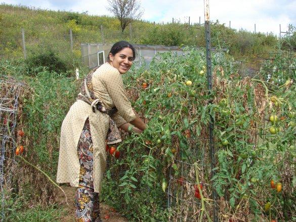Govinda priya picking tomatoes