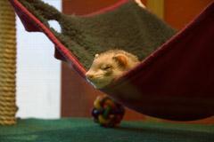 ferret in vertebrate room