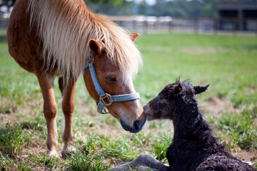 Pony_Mary_Foal_Reproduction