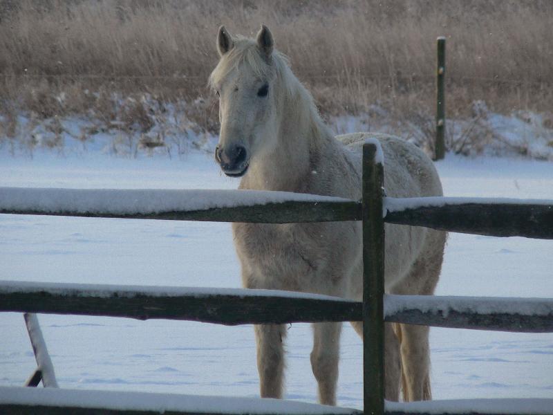 White horse snow winter
