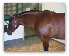 Fat brown horse